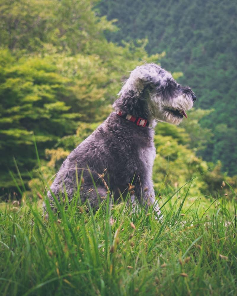 Dog-1僕はまゆちゃんの監視役。マテだって出来るよ